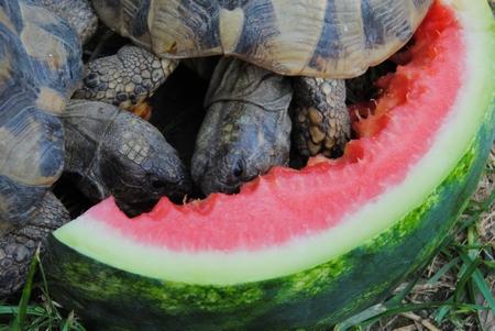 3 Schildkröten fressen eine Wassermelone